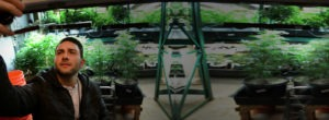 Man looking at different pot plants and strains