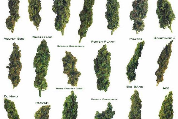 How to Know What Weed Strain to Buy