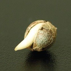 germinating marijuana seeds