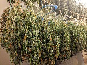cannabis curing process